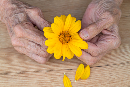 Hands of an old woman with bright orange daisy