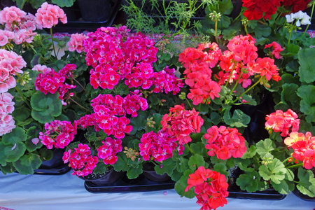 Three Kinds of Beautiful Geranium outdoors 版權商用圖片