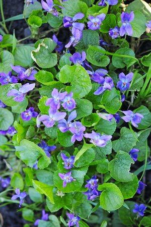 Wild forest violets. Nature background