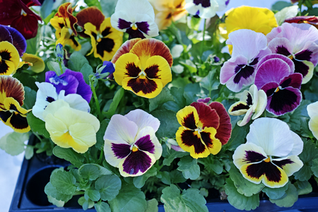 Sale of various pansies. Nature background Stock Photo