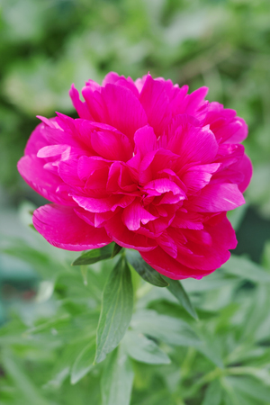 The peony or paeony is a flowering plant in the genus Paeonia, the only genus in the family Paeoniaceae. They are native to Asia, Europe and Western North America.