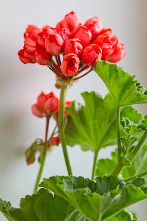 Indoor Geranium with Red tulip flowers Stock Photo