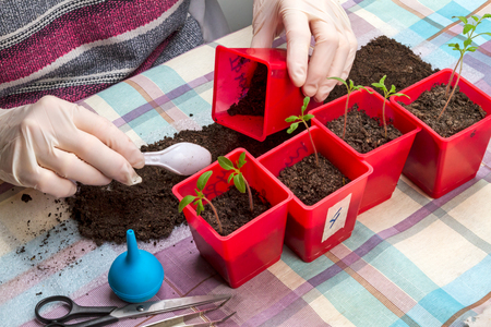 Gloved hands picking tomato seedlings Stock Photo