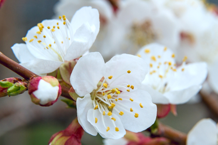 Blooming apricot closeup. Nature backgrounds