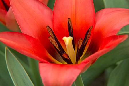 Background of beautiful bright scarlet tulip Stock Photo