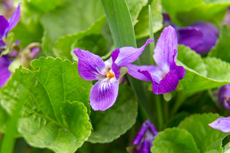 Viola  is a genus of flowering plants in the violet family Violaceae