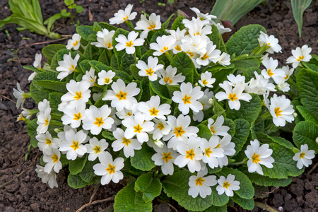 White flowers Primroses (Primula Vulgaris) in the garden