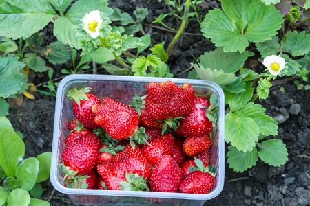 Ripe strawberries in a plastic container in the garden Stock Photo