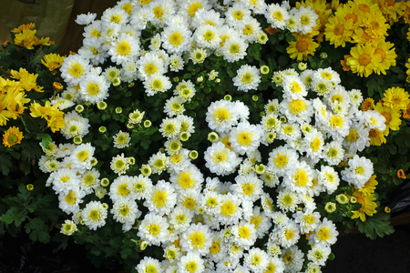 White chrysanthemums and yellow daisies. Nature backgrounds Stok Fotoğraf