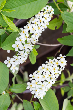Prunus padus, known as bird cherry, hackberry, hagberry, or Mayday tree, is a species of cherry, native to northern Europe and northern Asia.