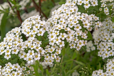 Spiraea sometimes spelled spirea in common names, is a genus of about 80 to 100 species of shrubs in the family Rosaceae Stock Photo