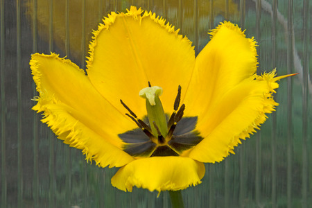Yellow tulips with terry edges. Nature background