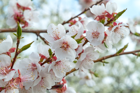 Apricot flowers in the garden. Nature backgrounds