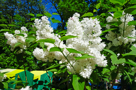 Beautiful bush of white lilac outdoors