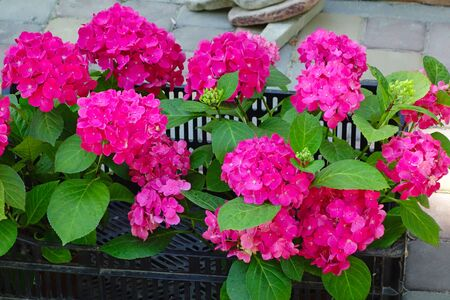Large deep red hydrangea blossoms. Flower background