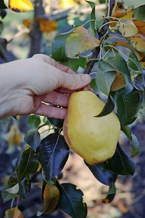 Hand plucks a yellow ripe pear on the branch