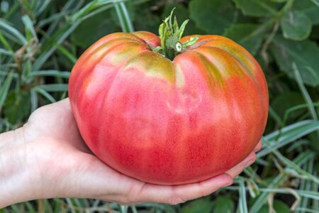 Giant ripe red tomato in hand