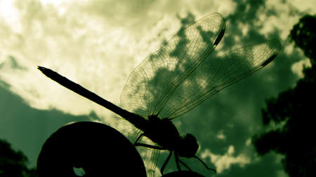 Silhouette of a dragonfly, macro, design cover                                photo