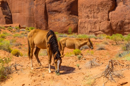 Wild mustang horse in desert in the Monument Valley. Navajo tribal Park, Arizona, Utah, USA.