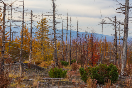 Dead forest in the center Kamchatka Peninsula, around the withered trees. Russia. Stock Photo
