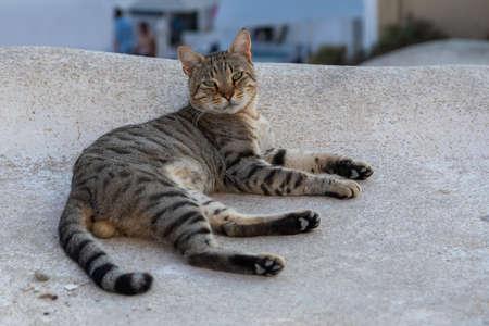 Wild stray Cat on the Oia town street on the island Santorini, Cyclades, Greece.