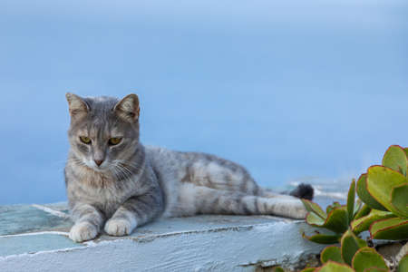Wild stray Cat lying on a wall. Chora town street on the island Folegandros. Aegean Sea in the background. Cyclades, Greece.