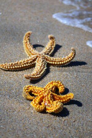 due stelle marine Archivio Fotografico