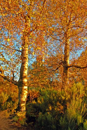 Autumn fall landscape - trees in forest photo