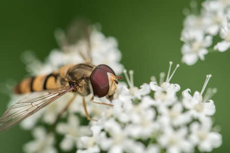 Hoverfly Insect sitting on a white flower closeup of Hoverfly. Blurred green Background. Macro of tiny Insect