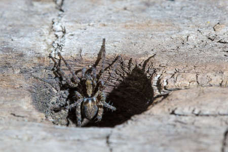Closeup of Female Spider looking out of a hole in a Wooden Bar