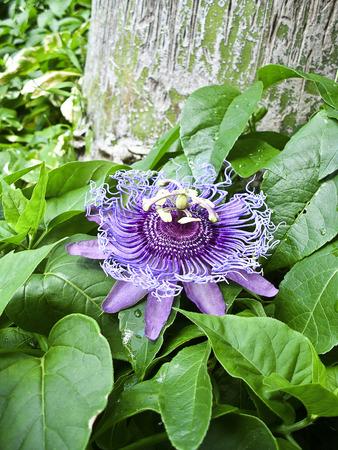 passiflora: passiflora flower