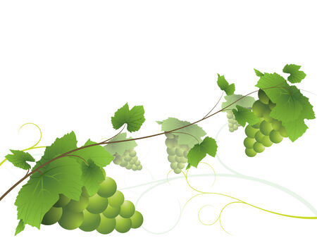 Grapevine with bunches of green grapes Vector