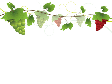 fruit stalk: Grapevine with bunches of grapes