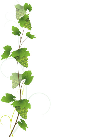 Vine with green grape bunches Vector