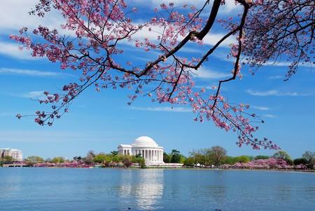 flor cerezo: Washington DC Cherry Blossom en primavera con Jefferson memorial sobre lago.