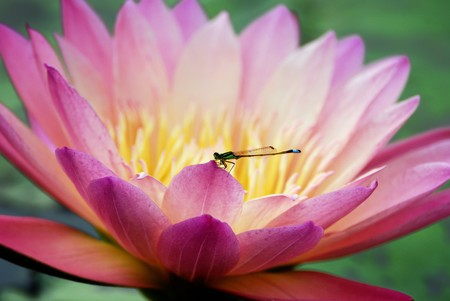 Water lily closeup with dragonfly in lovely pink color  photo