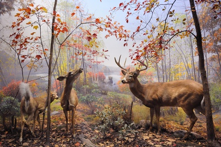 diorama: NEW YORK CITY - DEC 5: The American Museum of Natural History, with collections contain over 32 million specimens, is one of the largest and most celebrated museums in the world. December 5, 2010 in Manhattan, New York City.  Stock Photo