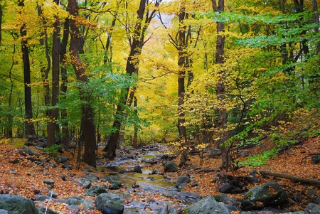 creeks: Autumn woods with yellow maple trees and creek with rocks and foliage in mountain.