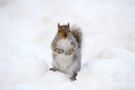 furry animals: Squirrel closeup with white snow in winter from Central Park in New York City Manhattan.