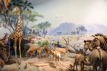 NEW YORK CITY - DEC 5: The American Museum of Natural History, with collections contain over 32 million specimens, is one of the largest and most celebrated museums in the world. December 5, 2010 in Manhattan, New York City.  Stock Photo - 8790811