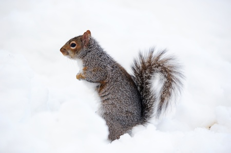 Squirrel closeup with white snow in winter from Central Park in New York City Manhattan.