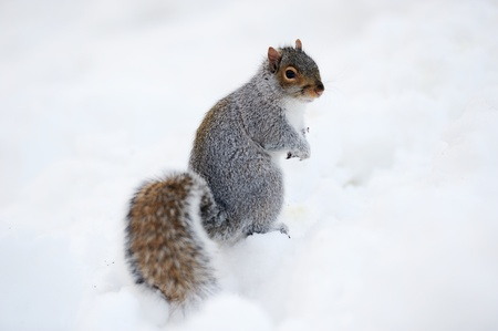 Squirrel closeup with white snow in winter from Central Park in New York City Manhattan. photo