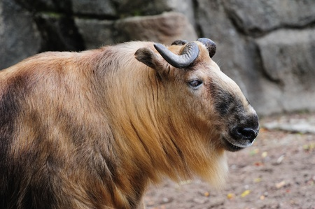 Sichuan Takin in Chicago zoo Stock Photo