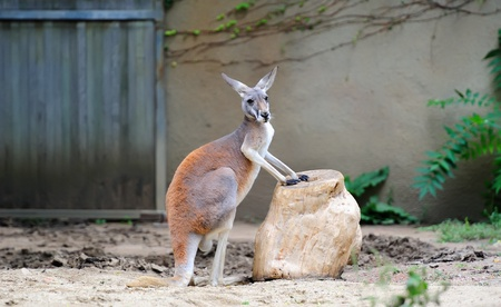 Kangaroo stand in Chicago zoo Editorial