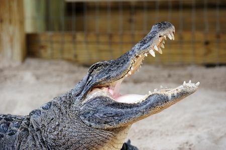 gator: Alligator closeup on sand in Gator Park in Miami, Florida.