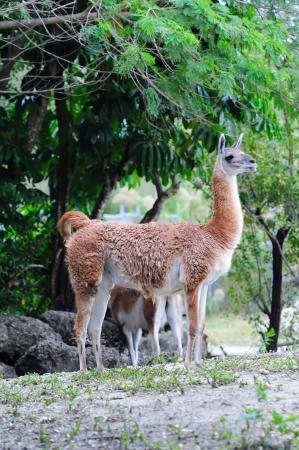 guanaco: Guanaco walking in Miami zoo