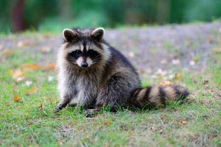 raccoon: Raccoon in park in Montreal Canada