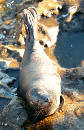 aquaria: Seal rest on rock in San Diego beach.