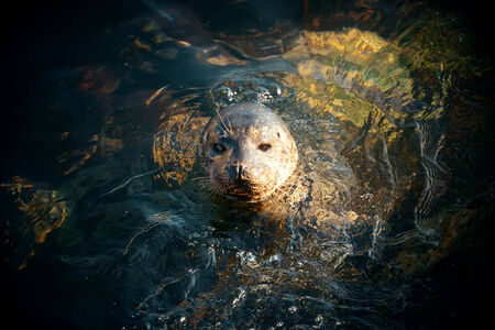 aquaria: Seal swim in sea in San Diego beach. Stock Photo