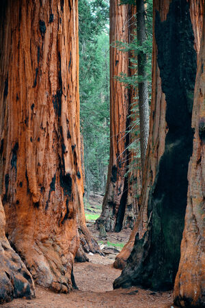 kings canyon national park: Giant tree closeup in Sequoia National Park